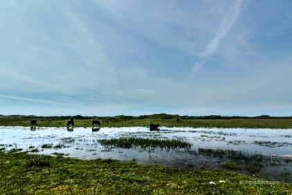 Wasserbüffel in De Muj