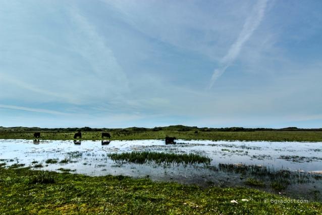 Texel-DeMuj-Wasserbueffel_MG_6334-2