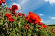 Mohn in voller Blüte