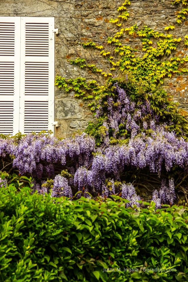 Frankreich-Bretagne-SaintCastLeGuildo-Glyzinie-6GradOst_MG_1543