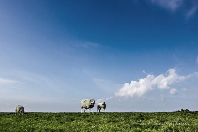 Niederlande-Texel-Utopia-Schafe_MG_1044