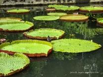 Nympheas auf Mauritius