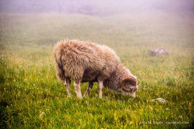 Sie gaben den Färöern ihren Namen: Schafe