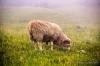 70.000 Schafe zählen die Färöer