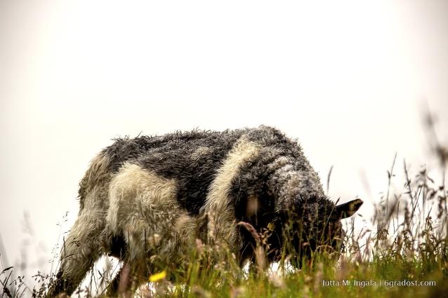 Auf den Färöern sind auch die Schafe anders...