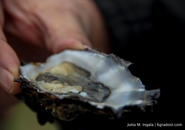 Zitrone lässt fangfrische Austern zucken