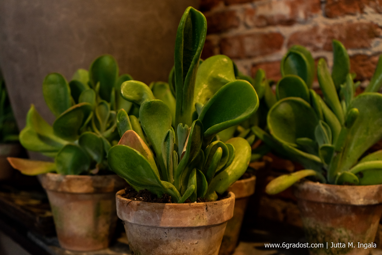 Fettpflanzen bei Horta Bloembinders, Lange Hofstraat 13